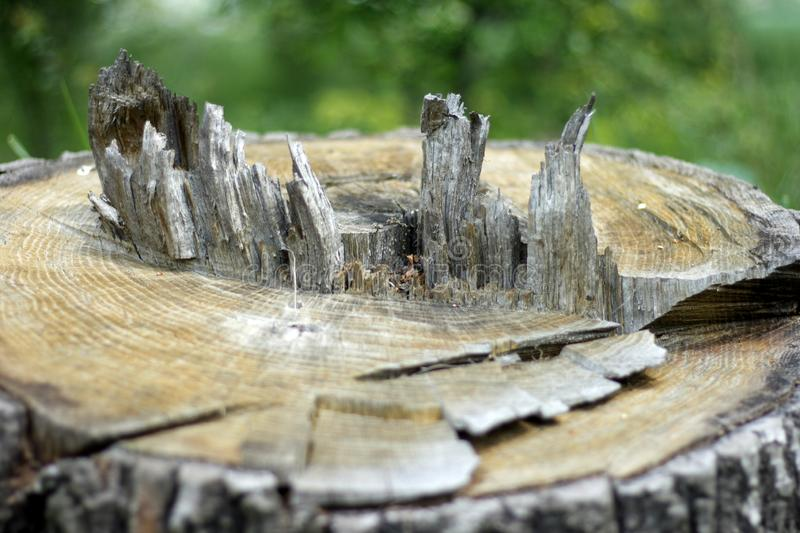 A medium to large tree stump after a tree was cut down in the park. The stump is surrounded by green grass and green bushes and stock photography