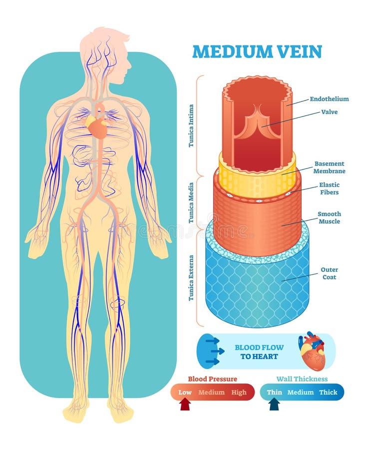 Medium vein anatomical vector illustration cross section. Circulatory system blood vessel diagram scheme.Educational information. Medium vein anatomical vector vector illustration