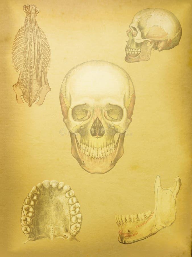 Medizinische Anatomie Des Schädels Stockfoto - Bild von studie ...