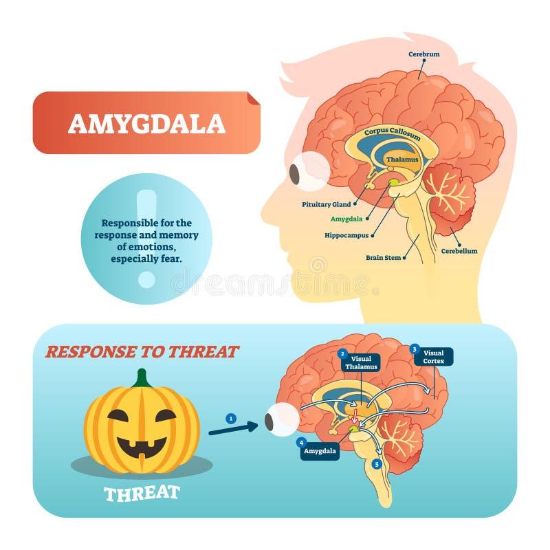 Medizinische beschriftete Vektorillustration und -entwurf des Amygdala mit Antwort zur Drohung lizenzfreie abbildung
