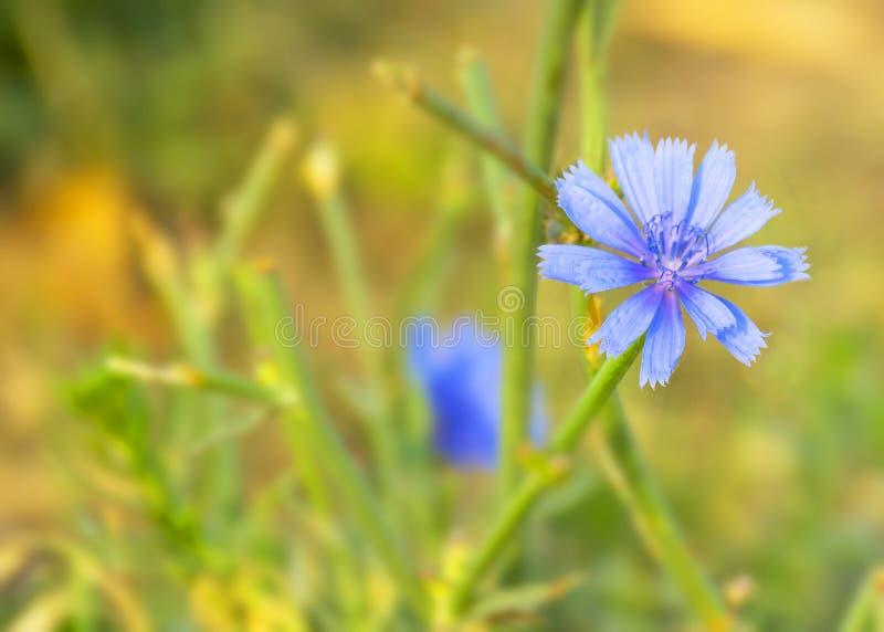Medizinische Blumenzichorie Kaffeeersatz Zichorieblüte in der Wiese lizenzfreies stockfoto