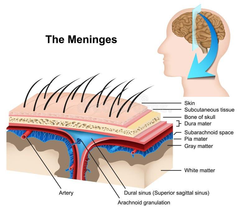 Medizinische Illustration 3d Meninges auf weißem Hintergrund stock abbildung