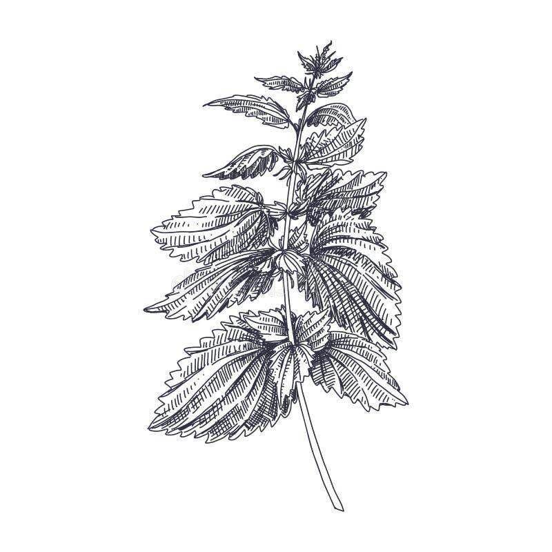 Medizinische Illustration Kraut der Vektor-Hand gezeichnete Nesseln stock abbildung