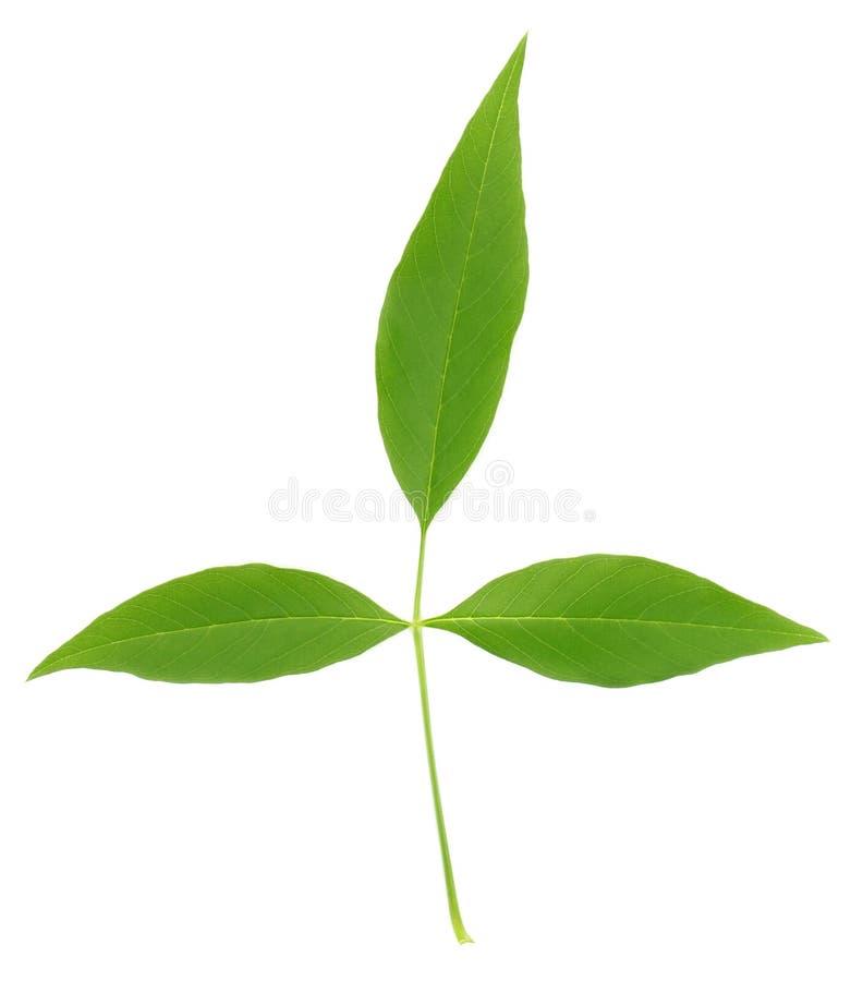 Medizinische Nishinda Blätter stockbild