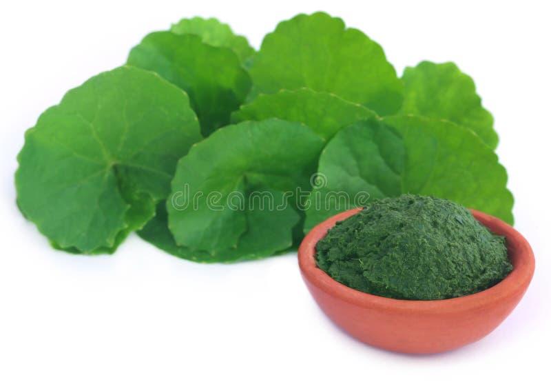 Medizinische thankuni Blätter, frisch und zerquetscht stockbild
