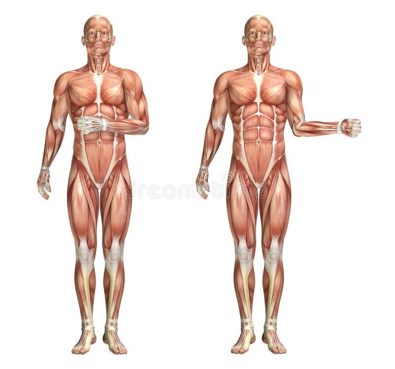 Medizinische Zahl 3D, Welche Die Schulter Intern Und Außenrotation ...