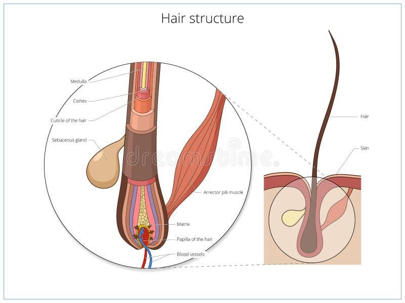 Wunderbar Haarstruktur Anatomie Fotos - Anatomie Ideen - finotti.info