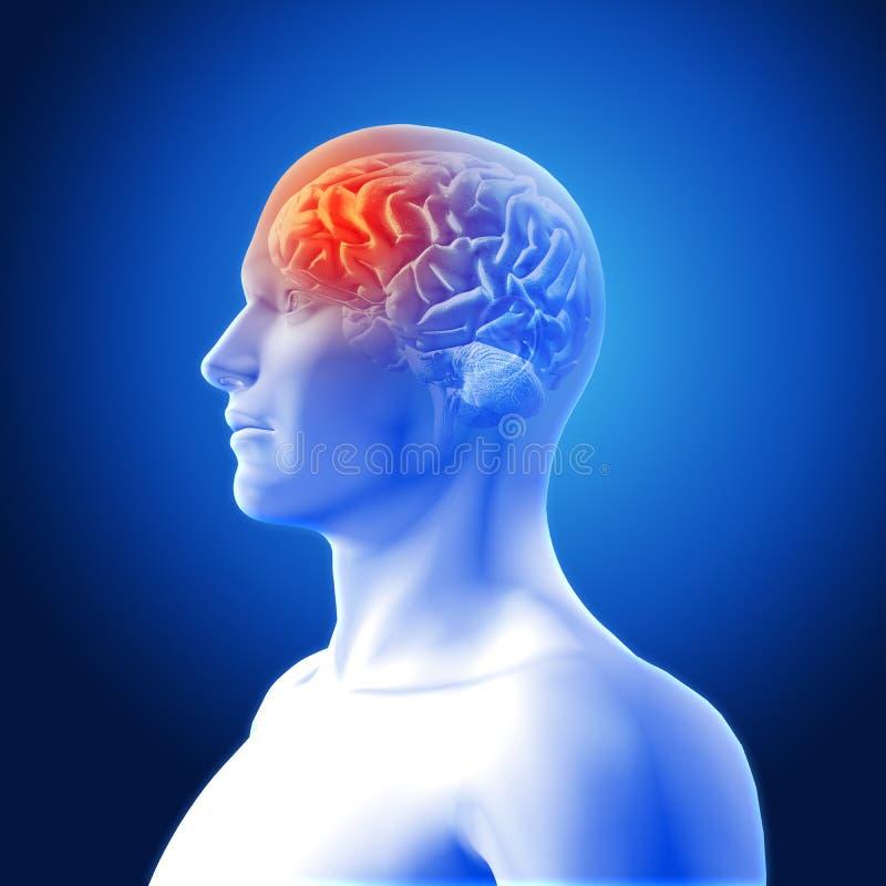 Medizinisches Bild 3D, Das Gehirn In Der Männerfigur Mit Dem ...