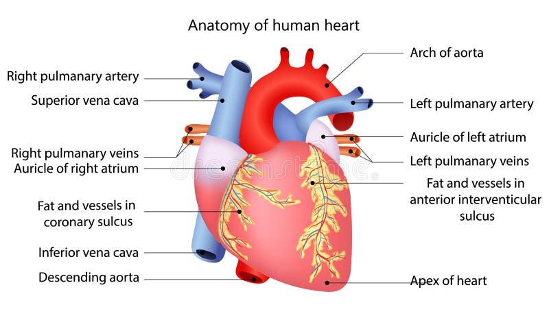 Medizinisches Menschliches Herz Vektor Abbildung - Illustration von ...