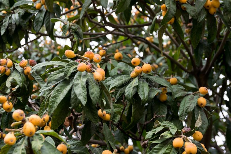 Medlar, loquat, Eriobotrya japonica tree with fruits. In spring stock photo