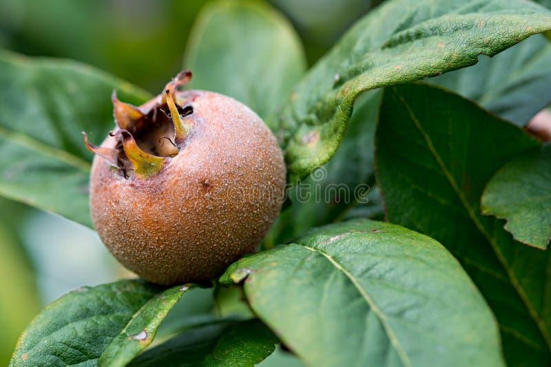 Medlars dans l'arbre fruitier images libres de droits