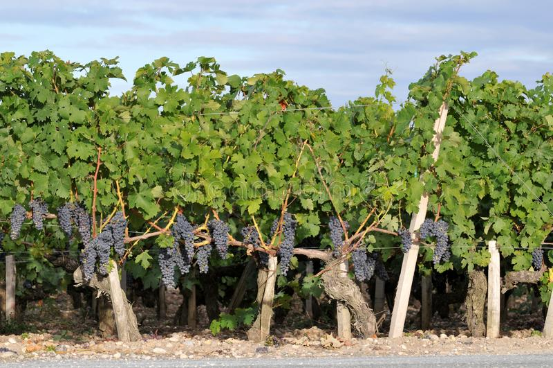 Medocwijngaarden in het zuiden van Frankrijk royalty-vrije stock afbeelding