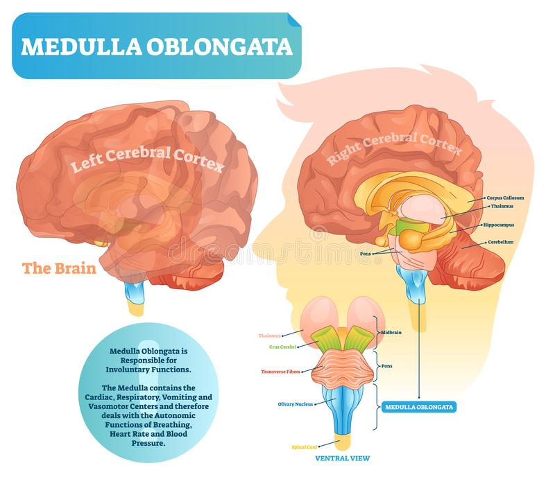 Medulla oblongata vector illustration. Labeled diagram with ventral view. stock illustration