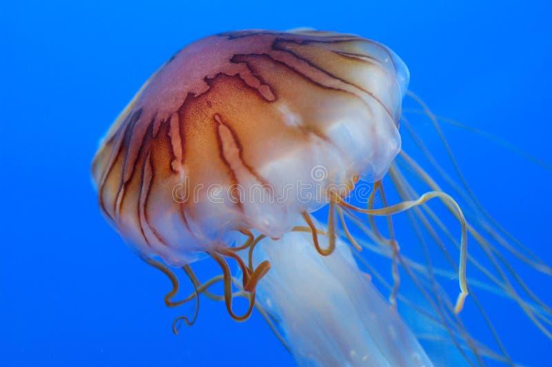medusa royaltyfri bild