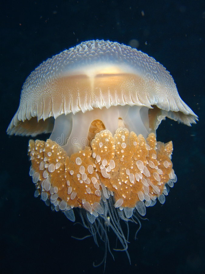 Medusa foto de stock