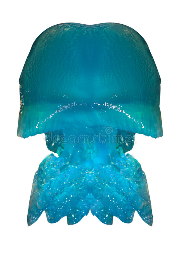 Medusa azuis Queensland imagens de stock royalty free