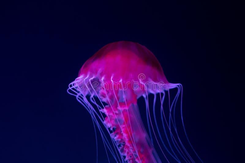 Medusa cor-de-rosa no close up azul do fundo imagens de stock royalty free