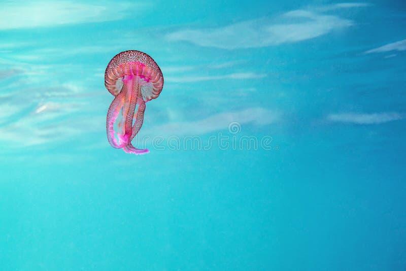 Medusa cor-de-rosa que flutuam em um mar de turquesa imagens de stock royalty free