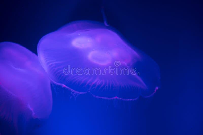 Medusa de incandescência delicadas da lua que flutuam em águas azuis vibrantes fotos de stock royalty free