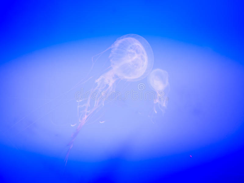 Medusa em Hanwah Aqua Planet Jeju, Seopjikoji próximo encontrado imagem de stock royalty free