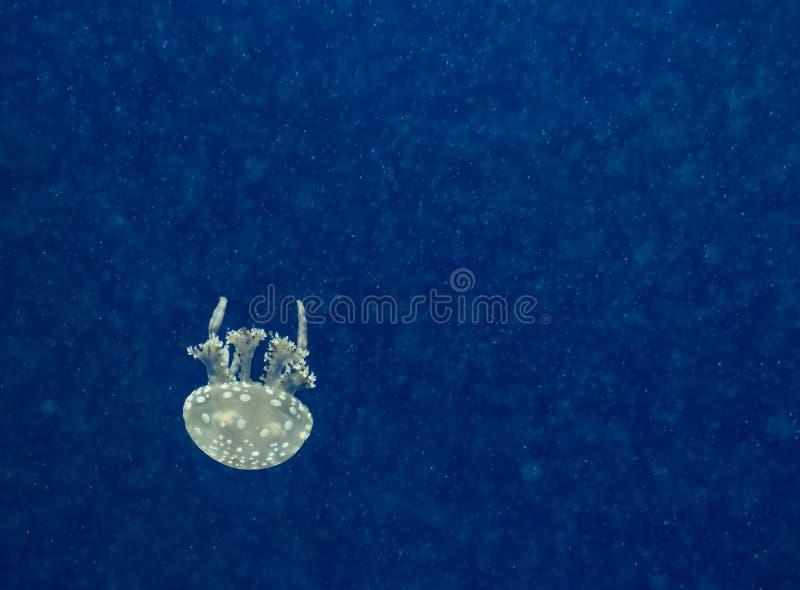 Medusa em uma obscuridade - fundo azul com plâncton de incandescência espaço imagens de stock royalty free
