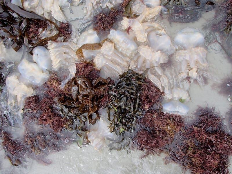 Medusa encalhadas múltiplo entre algas de Brown imagem de stock royalty free