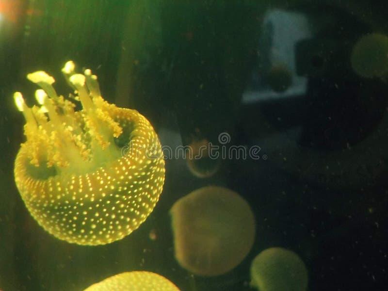 Medusa gialla immagini stock libere da diritti