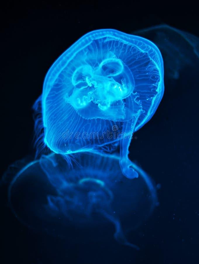 A medusa nada na água imagens de stock