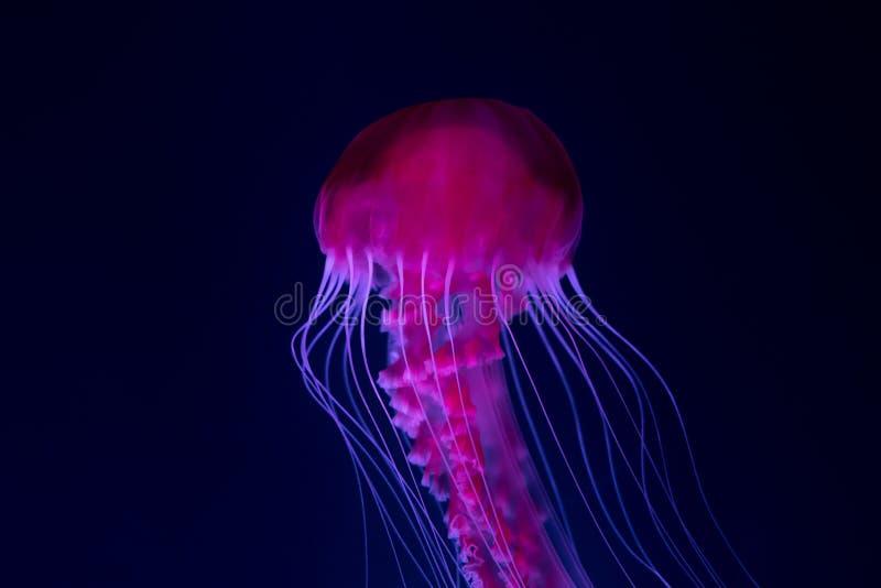 Medusa no aquário, medusa cor-de-rosa fotografia de stock