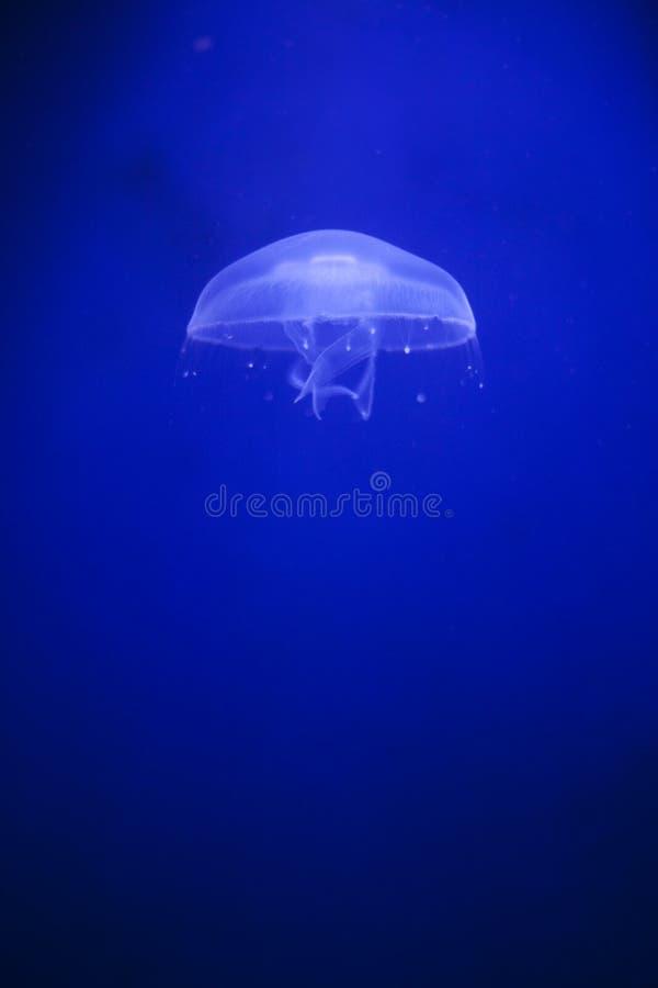 Medusa no fundo azul fotografia de stock royalty free
