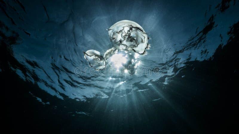 Medusa no mar em Cabo Frio em Rio de janeiro imagens de stock royalty free