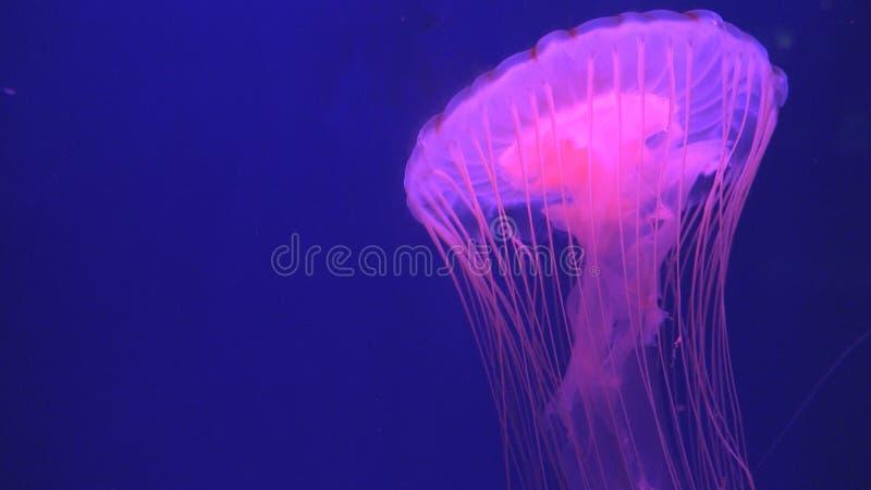 Medusa que flutuam no aqu?rio, nata??o das medusa, Medusa, animais aqu?ticos imagens de stock royalty free