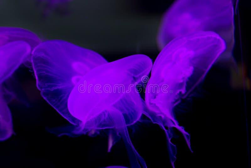 Medusa roxas abstratas na água foto de stock
