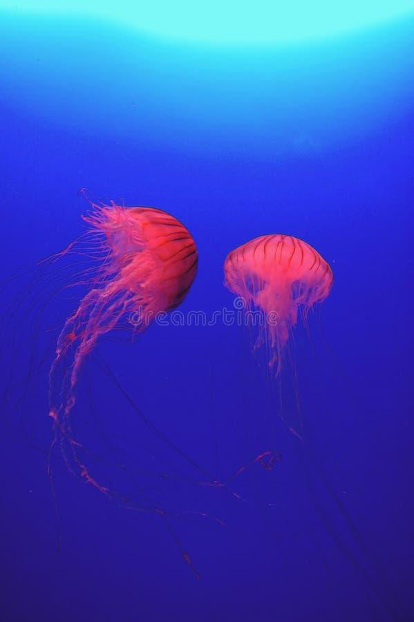 Medusa vermelhas fotos de stock