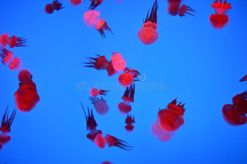 Medusa vermelhas foto de stock