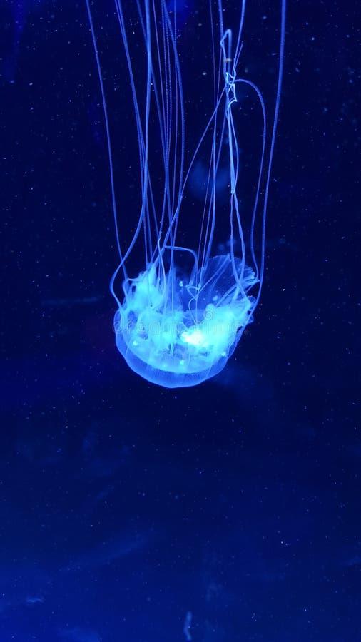 Medusas foto de archivo libre de regalías
