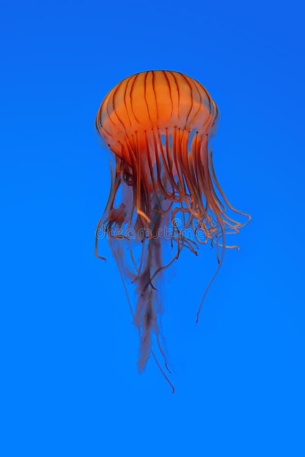 Medusas imágenes de archivo libres de regalías