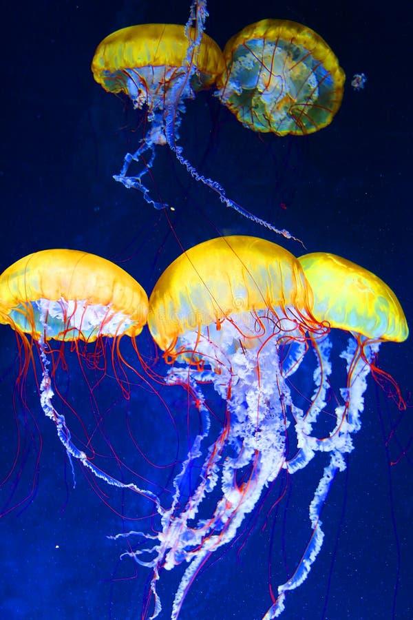 Medusas foto de archivo