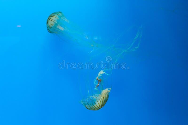 medusas fotos de stock