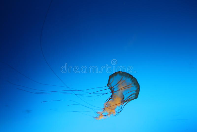 medusas foto de stock