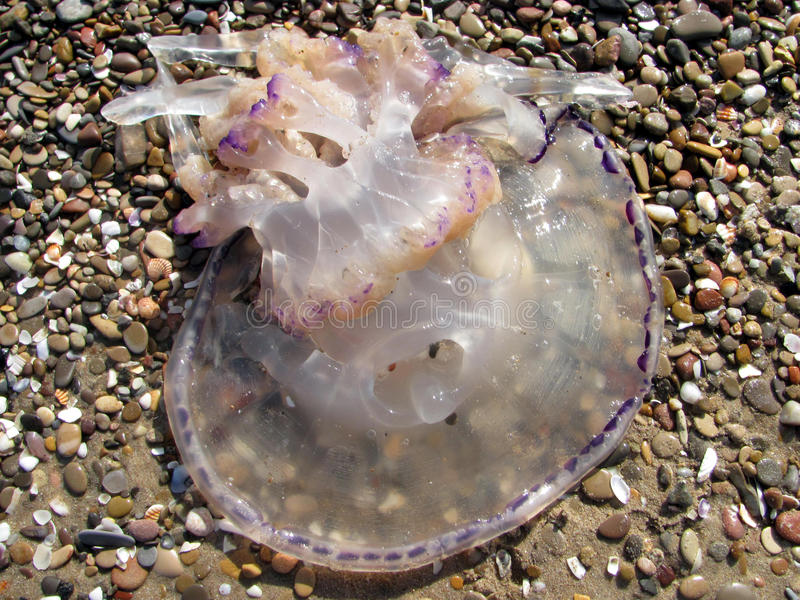medusas fotografia de stock