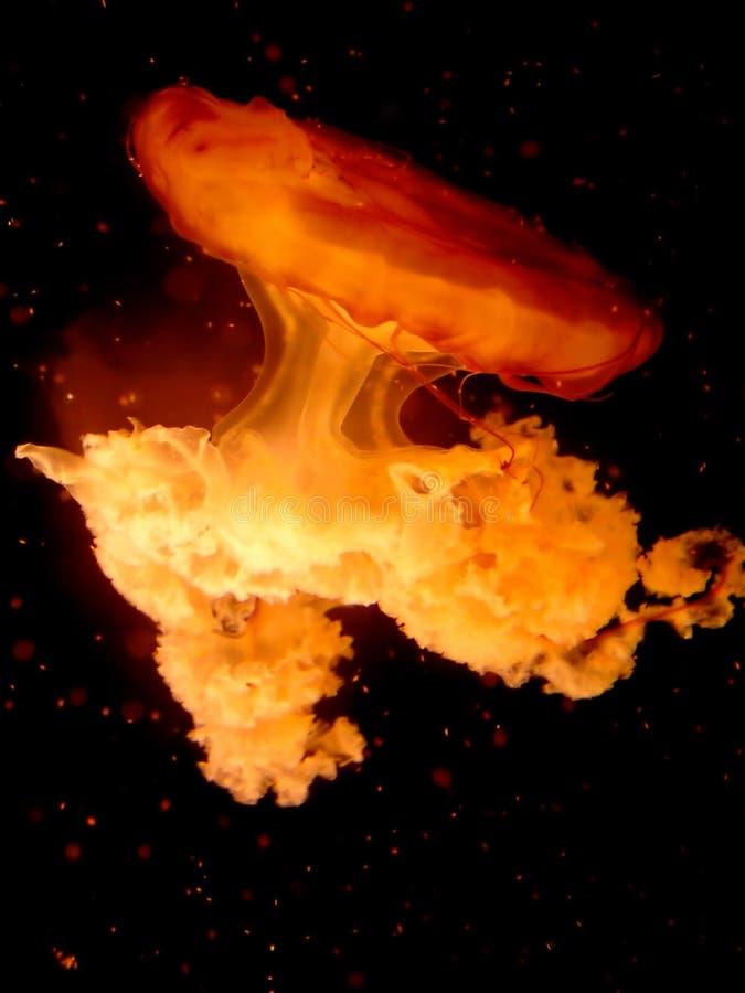 Medusas imagens de stock royalty free