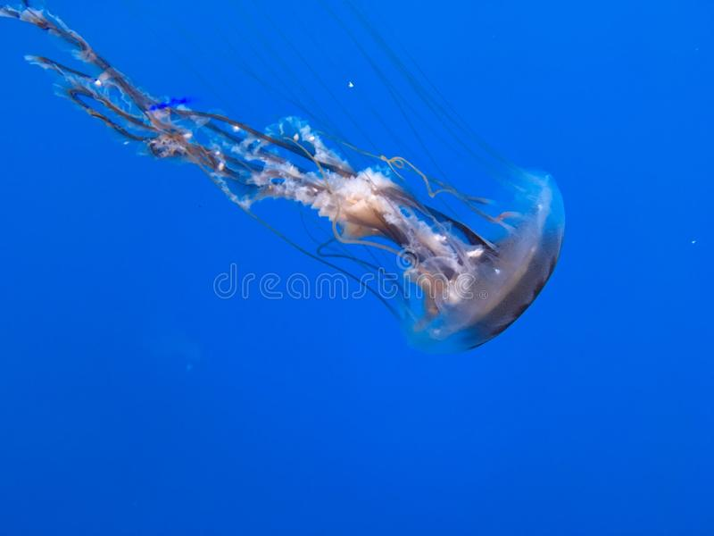 Medusas atlánticas foto de archivo