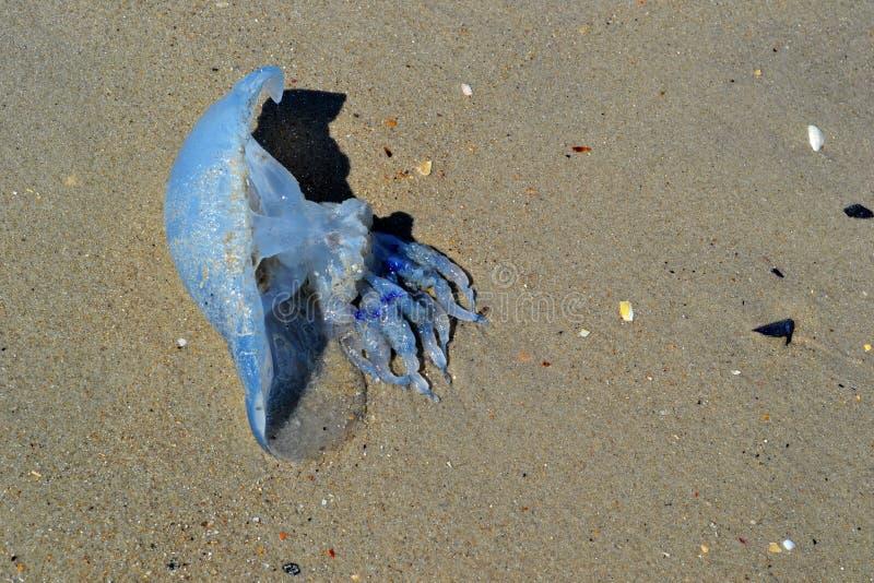 Medusas azules fotografía de archivo libre de regalías