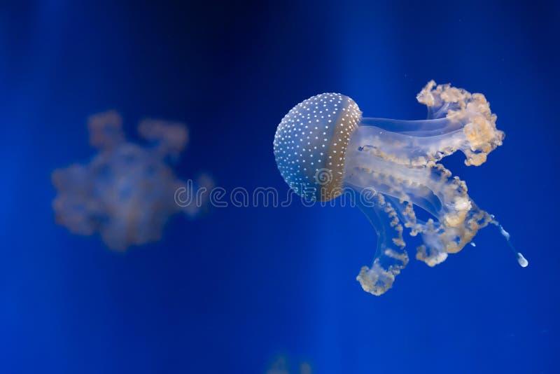 medusas Blanco-manchadas (punctata de Phyllorhiza) imagenes de archivo
