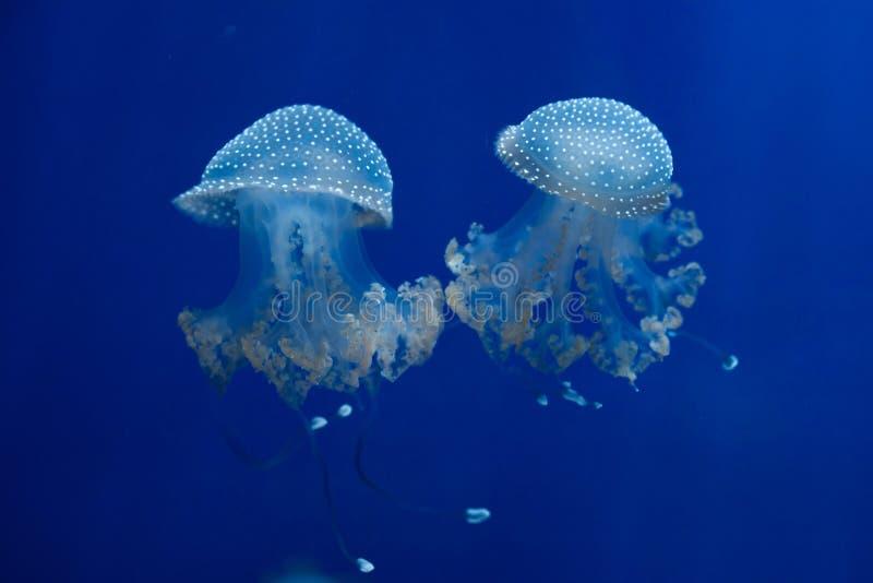 medusas Blanco-manchadas y x28; Punctata& x29 de Phyllorhiza; foto de archivo