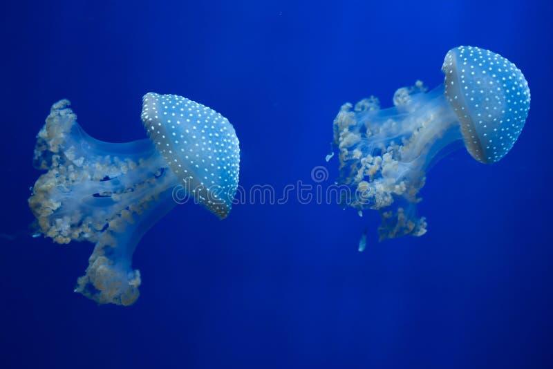 medusas Blanco-manchadas y x28; Punctata& x29 de Phyllorhiza; imágenes de archivo libres de regalías