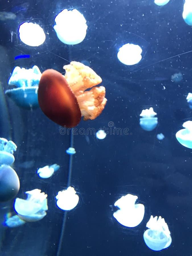 Medusas coloridas en el acuario de Baltimore foto de archivo