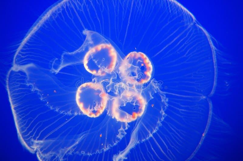 Medusas de la luna imagenes de archivo