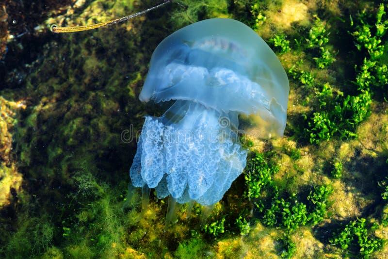 Medusas de la luna del mar fotos de archivo